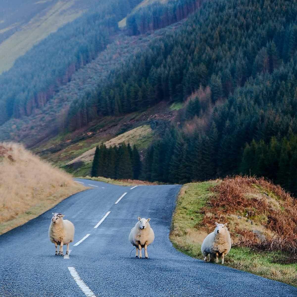 Sfeerfoto van schapen die op de weg lopen